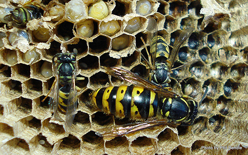 queen wasp laying eggs