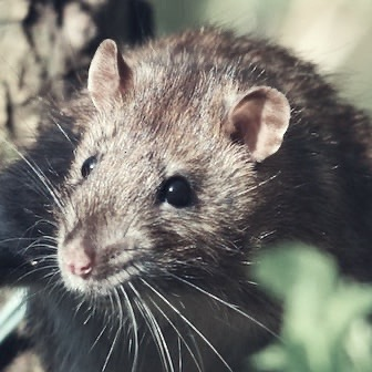 rodent control image
