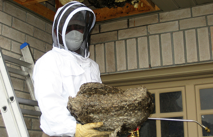 European Wasp nest removal