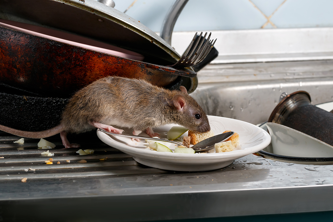 rodent image